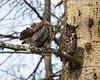 Great-horned Owlet preening
