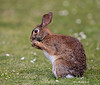 Cottontail eating daisies