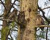 Great-horned Owl family