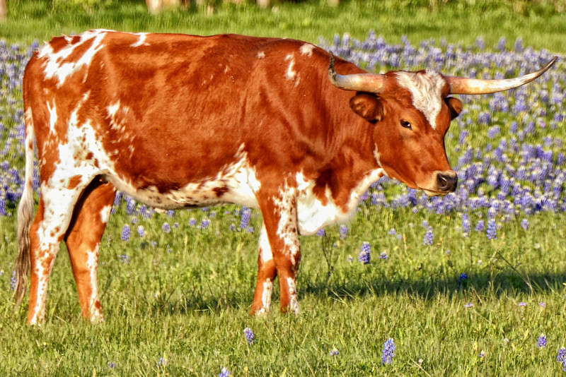 Young longhorn steer posing for me in the bluebonnets