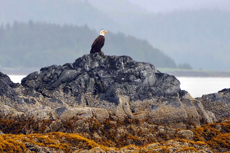 Bald eagle sighted on Captain Larry's whale watching tour, Juneau
