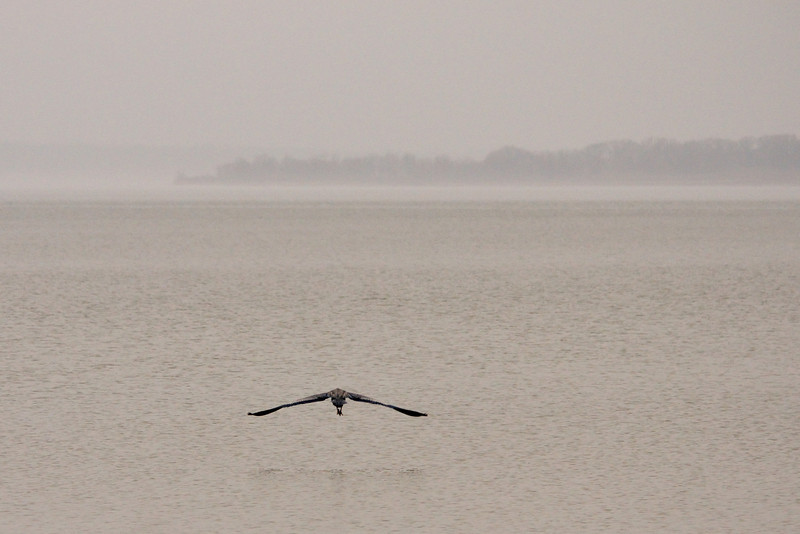 Great blue heron with the lake all to himself