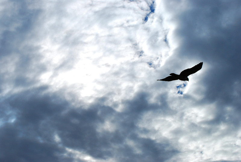 Redtail hawk takes flight2