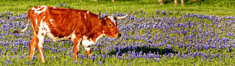 Longhorns and Bluebonnets - Nowhere but Texas