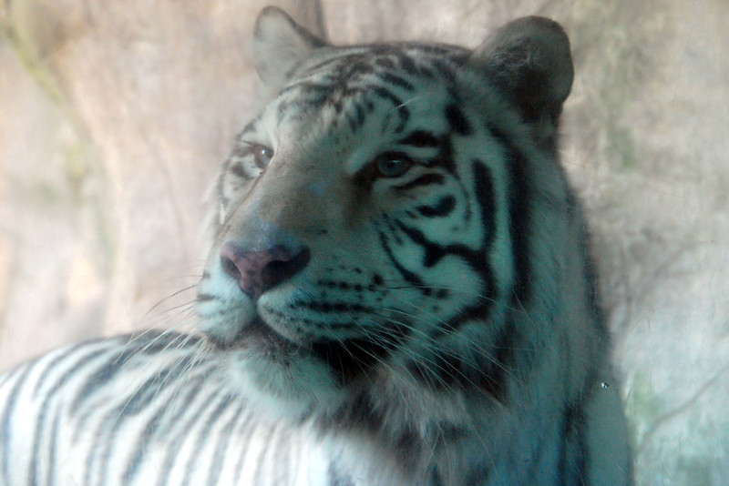 White tiger, Fort Worth zoo