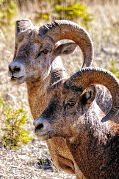 Bighorn sheep in Banff