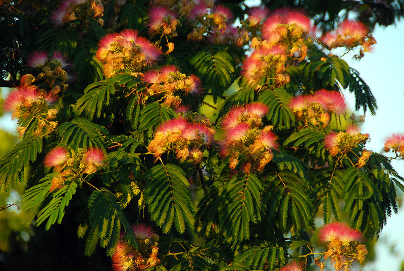 Mimosa blooms