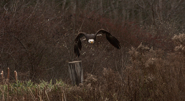 """""""Coming Right At You"""" (Bald Eagle)"""