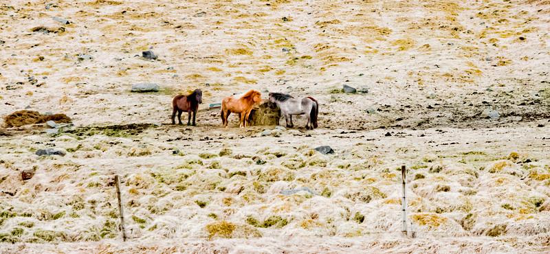 """""""Icelandic Horses""""  18.5 x 8.5"""