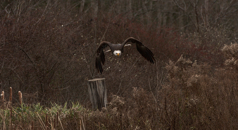 """Coming Right At You"" (Bald Eagle)"