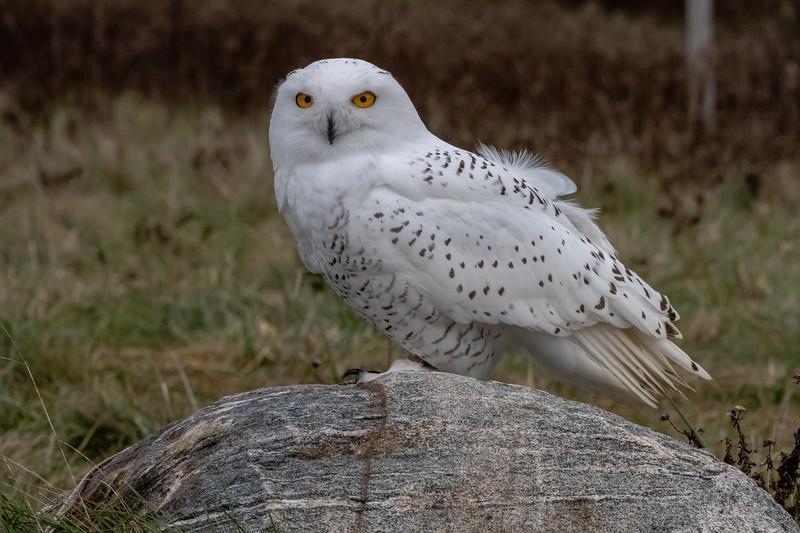 """On Vacation""  photograph Snowy Owl  18.75 x 12.75"