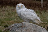 """On Vacation""  photograph Snowy Owl  18.75 x 12.75"