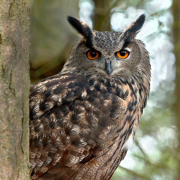 """On Watch ""  photograph Great Horned Owl"