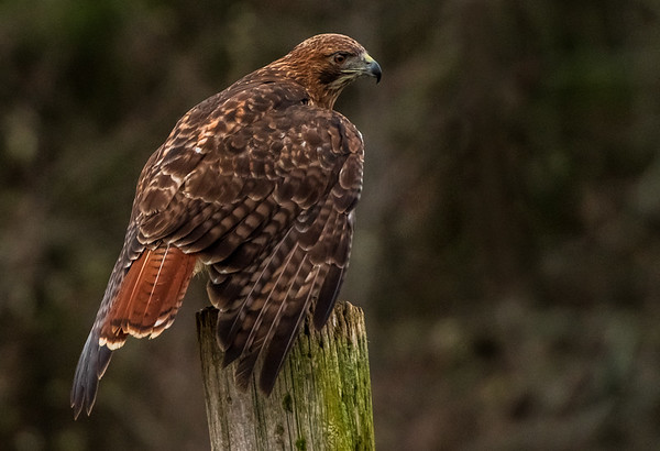 """""""Perched""""  (Red Tailed Hawk"""""""