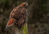 """Perched""  (Red Tailed Hawk"""
