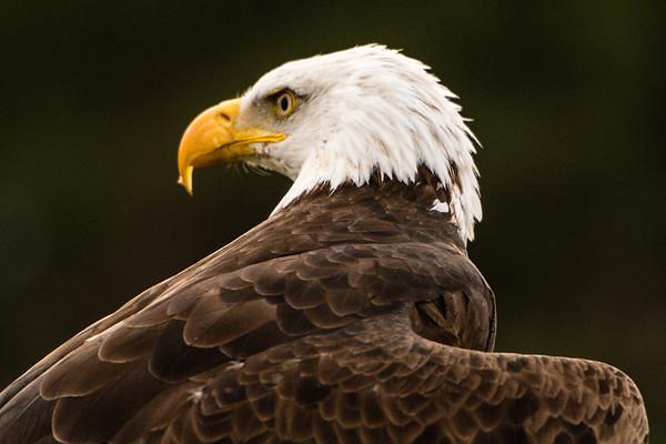 """""""Majestic""""  (Bald Eagle) 18.75 x 12.5"""