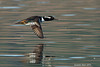 Hooded Merganser in flight.