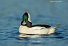 Bufflehead ,male