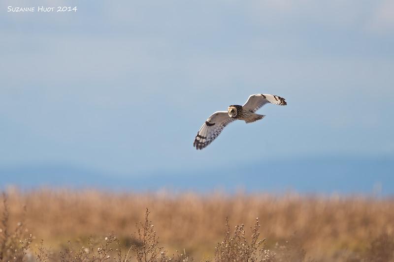 Short-eared Owl hunting .