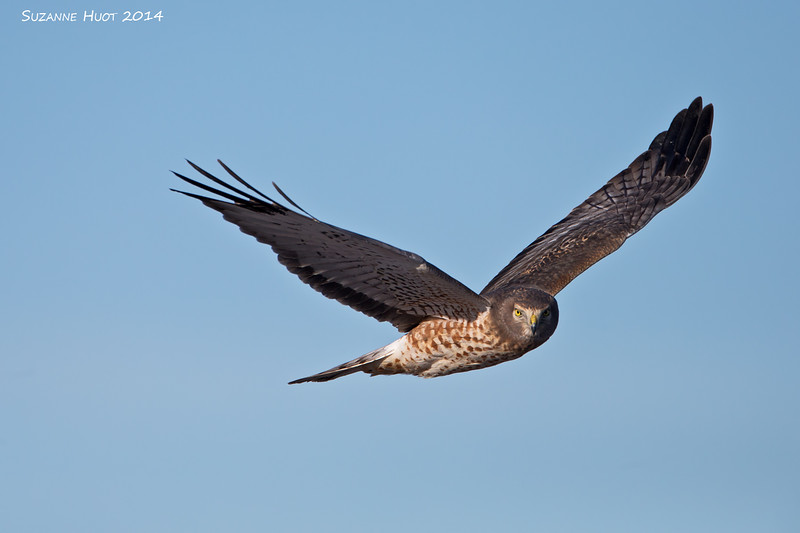Northern Harrier checking us out.