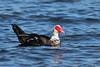 Muscovy Duck ,male