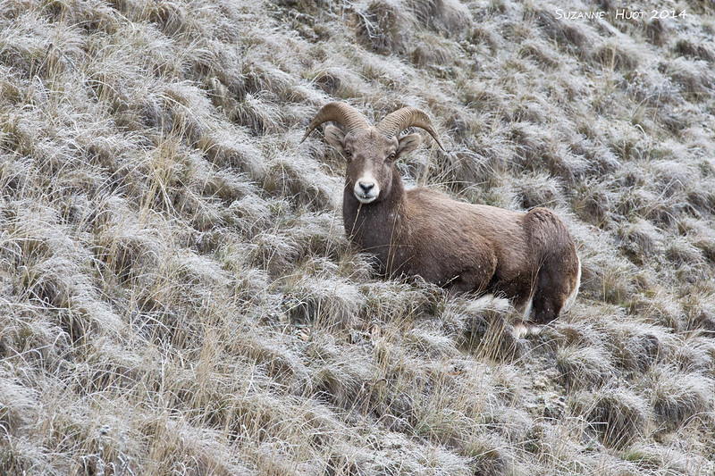 Big Horn Sheep in the snow.