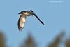 Black-belted Kingfisher hovering