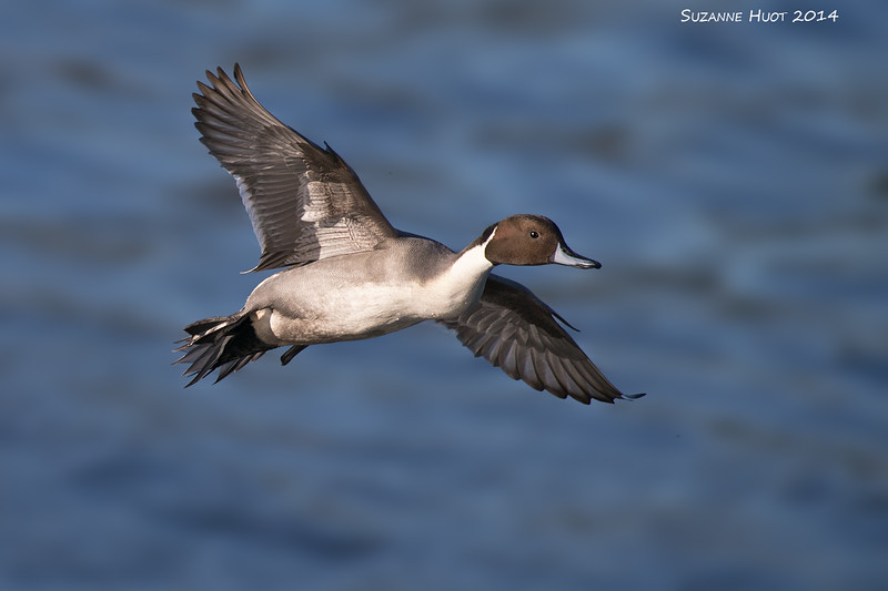 Northern Pintail in flight.