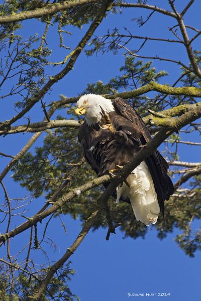 Itchy Bald Eagle