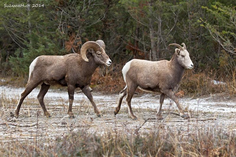Big Horn Sheep Ram following Ewe .