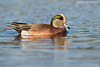 North american Wigeon .