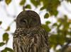 Head shot of Barred Owl.