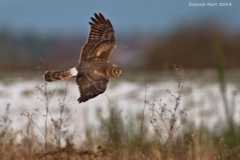 Northern Harrier hunting,female.