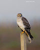 Northern Harrier , Male.
