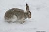 Jack Rabbit in transition