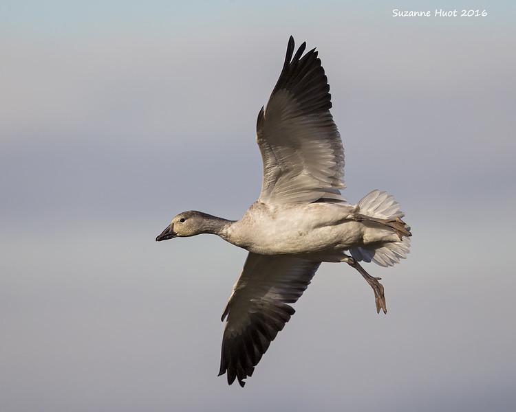 Snow Goose , Juvenile.