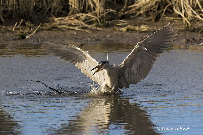 Teritorial  Black-crowned night heron.