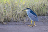 Black-crowned Heron in habitat