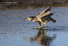 Black-crowned night Heron hunting.