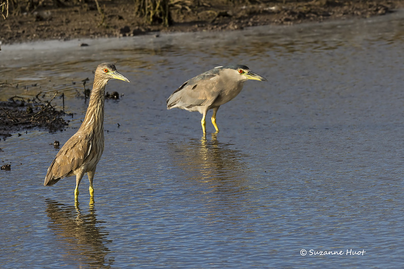 Black-crowned Night heron with  Australasian Bittern ?