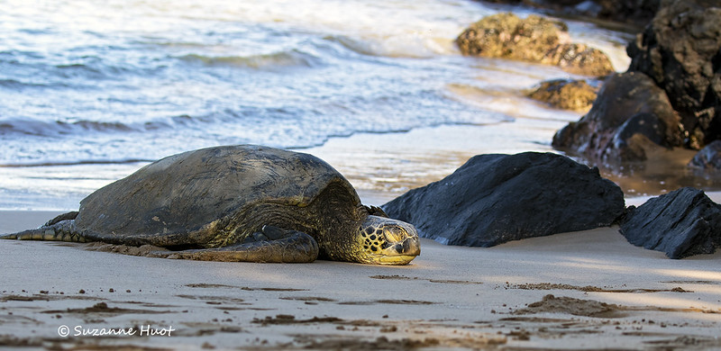 Green turtle at rest
