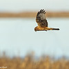 Northern Harrier hunting