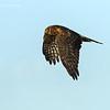 Northern Harrier .f
