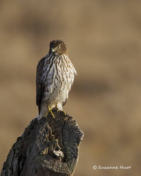 Northern harrier .f