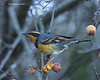 Varied thrush in crab apple tree