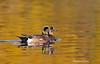 Mated pair of North American widgeons
