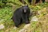 Black Bear in the ferns.