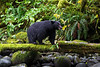Black Bear on the prowl.
