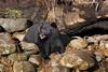 Black Bear enjoying the sun.