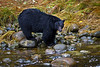 Black Bear looking for fish in the river.
